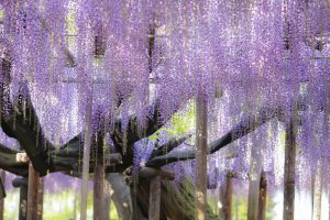 "Ashikaga Flower Park ""Demon Slayer"" Real Life Locations in Japan"